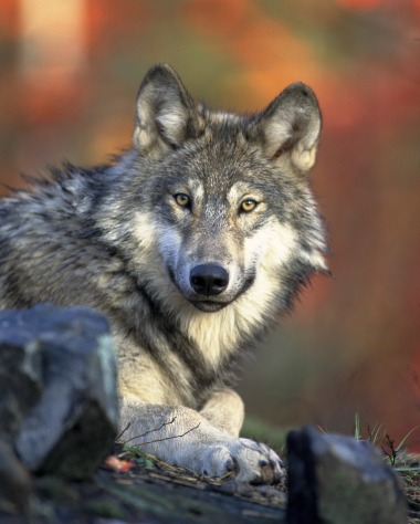 wolf-62898_1920